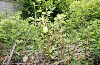 Weed Free - Japanese Knotweed