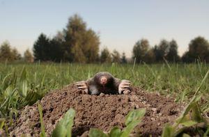 Mole image
