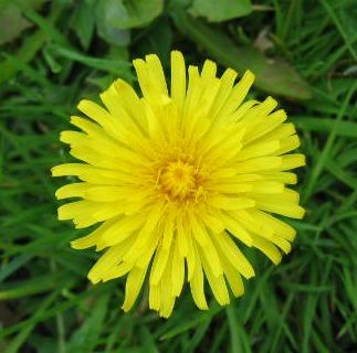 Grassclippings - Dandelion Flower