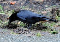 Grass Clippings - Crow Tearing up Lawn for Chafer Grubs