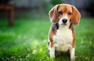 Grassclippings - Is your lawn harming your Dog