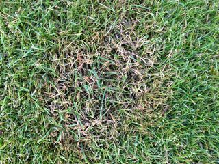 Grassclippings - Fusarium Disease