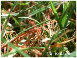 Red Thread Disease - Red Threads Visible