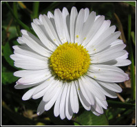 Lawn Daisy - Tony Wills
