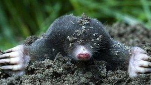 BBC - Moles
