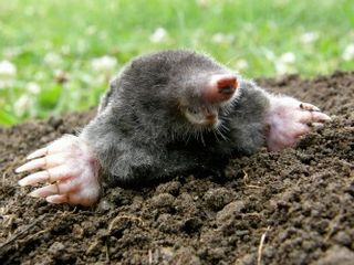 Grassclippings - Moles