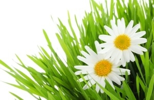 Grassclippings - Lawn Daisies