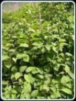 Japanese_knotweed_mature_plants