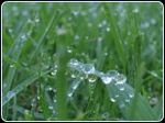 Early_morning_dew_on_grasses