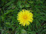 Dandelion_flower_3