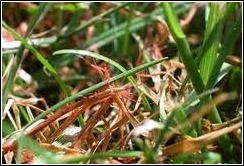 Grassclippings - Red Thread Disease