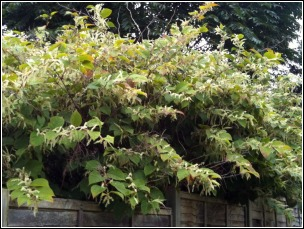 Japanese Knotweed Control