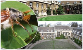 Chafer Beetle Damage at Christ's College Cambridge