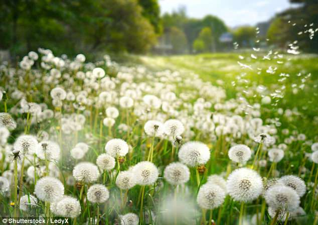 Grass Clippings - Dandelion Seed Heads