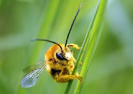Grass Clipping - Bees love lazy lawn owners