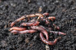 Grass Clippings - Introduce Earthworms into Garden