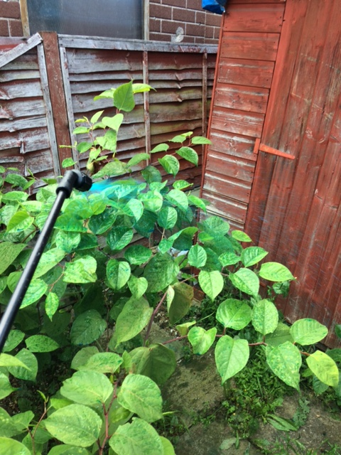 Grass Clippings - Japanese Knotweed Control