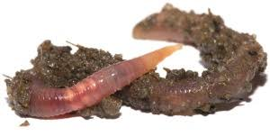 CastClear deters Earthworm Soil Casts