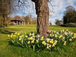 Daffodils on Lawn