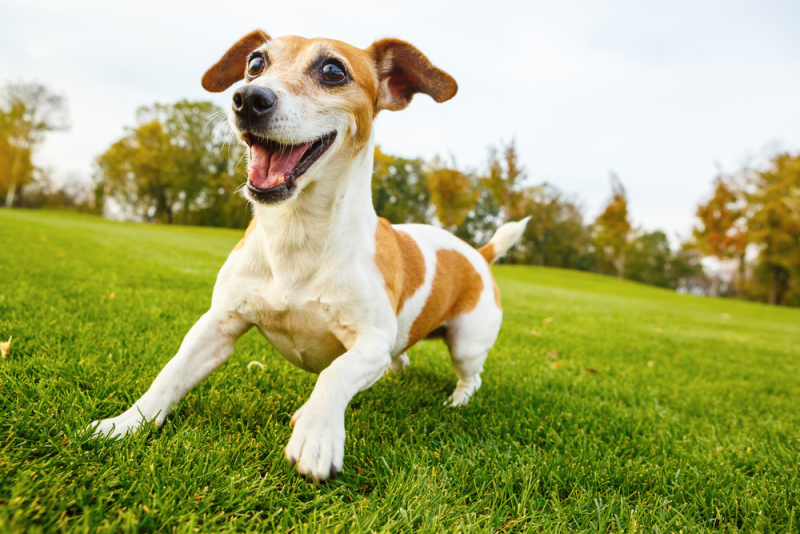 Jack Russell Terrier on Lawn