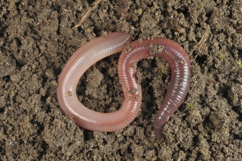 Earthworm - CastClear