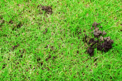 Earthworm Infestation on Lawns