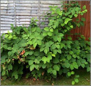Japanese Knotweed Infestation in Garden
